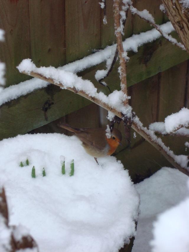 Winter Robin (1)
