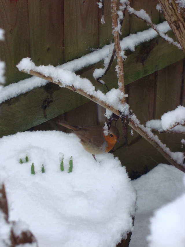 Winter Robin (1)
