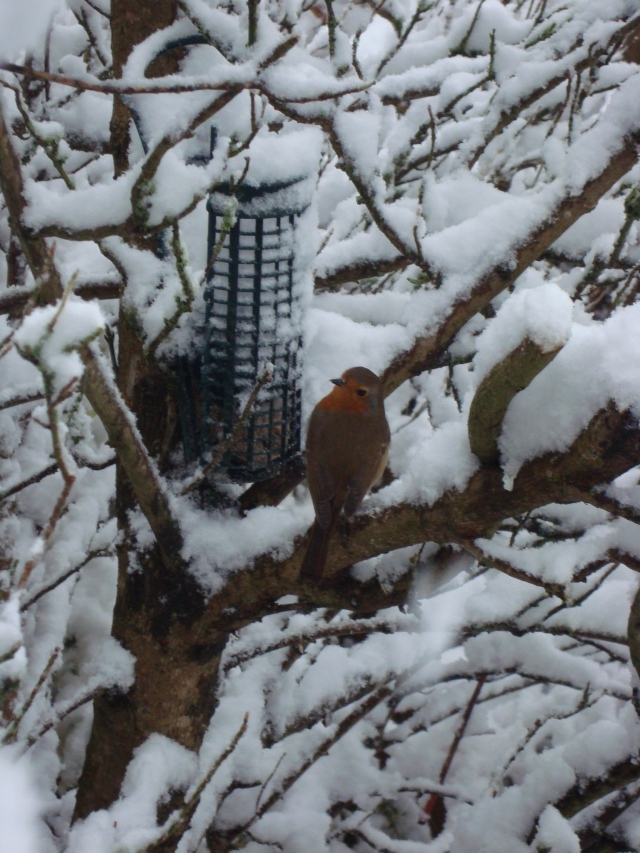 Winter Robin (14)