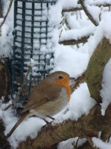 Sweet Robin in the snow taken last spring 2013.  I haven't seen him yet, I do hope he returns soon! (c) copyright Sherri Matthews 2013