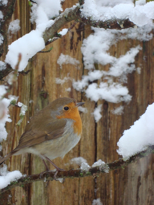 Winter Robin (25)