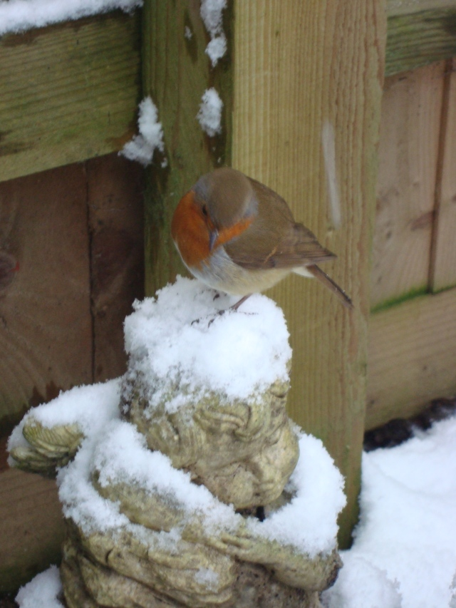 Winter Robin (4)