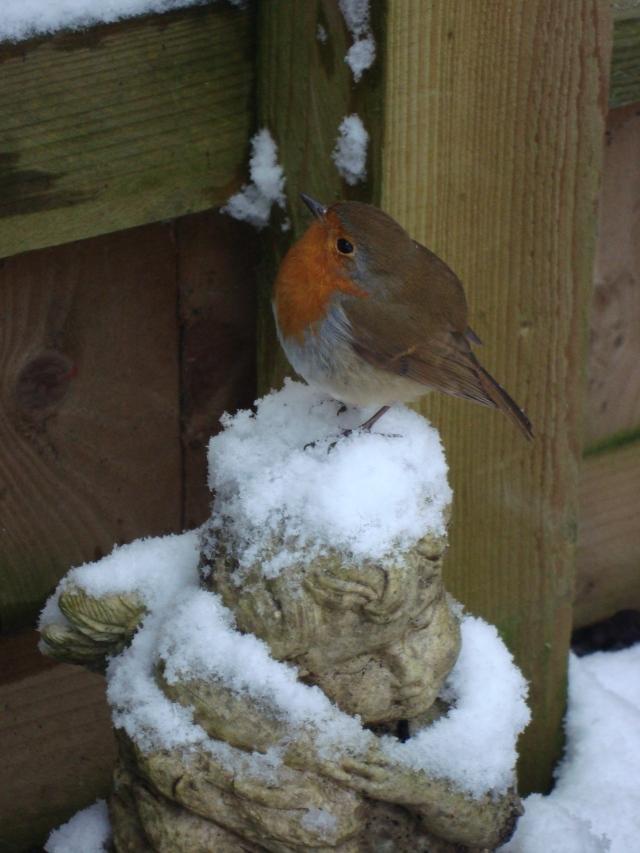 Winter Robin (5)