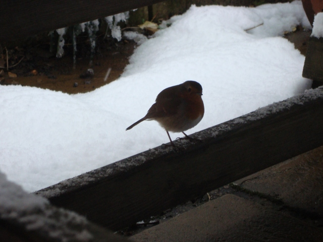 Winter Robin (9)