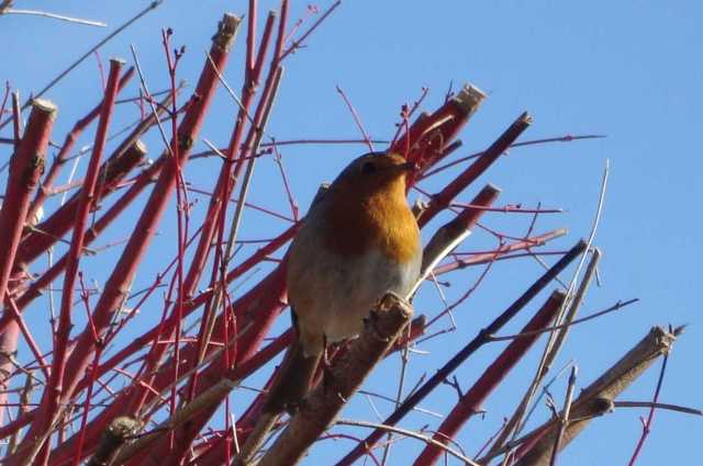 Sweet Robin At The Top of the Acer Tree(c) copyright Sherri Matthews 2013