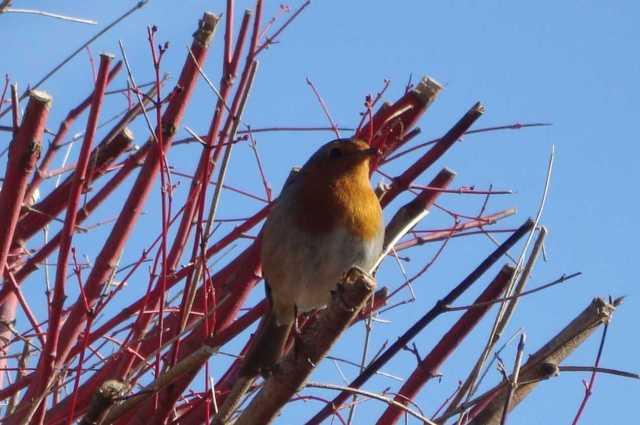 Sweet Robin At The Top of the Acer Tree(c) copyright Sherri Matthews 2013