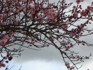 Spring Blossom against a Dark Sky (c) copyright Sherri Matthews 2013
