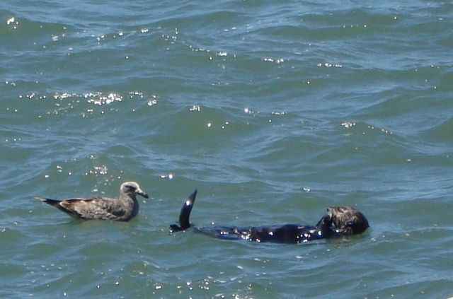 Sea Otter keeping Sea Gull at bay (c) copyright Sherri Matthews 2013