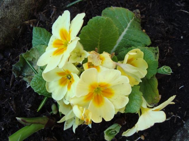 Springtime Primrose(c) copyright Sherri Matthews 2013