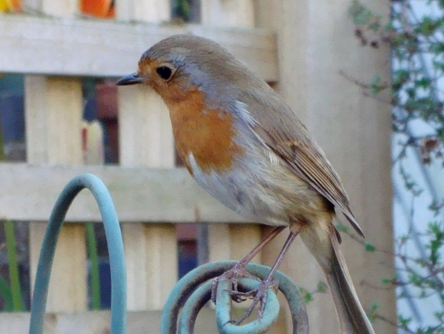 Sweet Robin Listening for Worms (c) copyright Sherri Matthews 2013