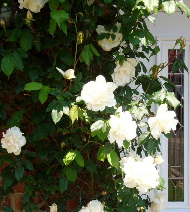 Rambling Rose (c) copyright Sherri Matthews 2013