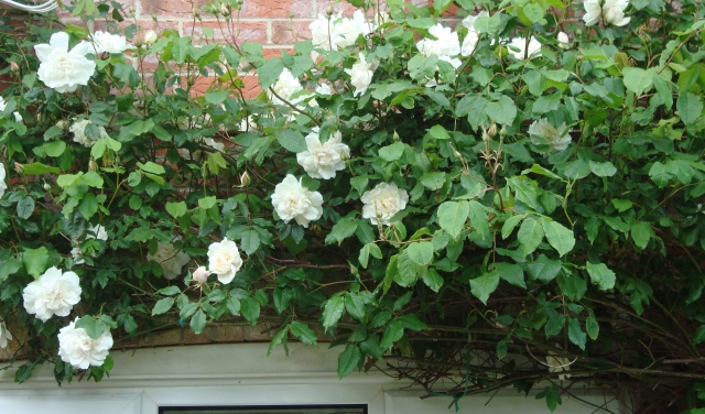 Rambling Rose in the Spring (c) copyright Sherri Matthews 2013
