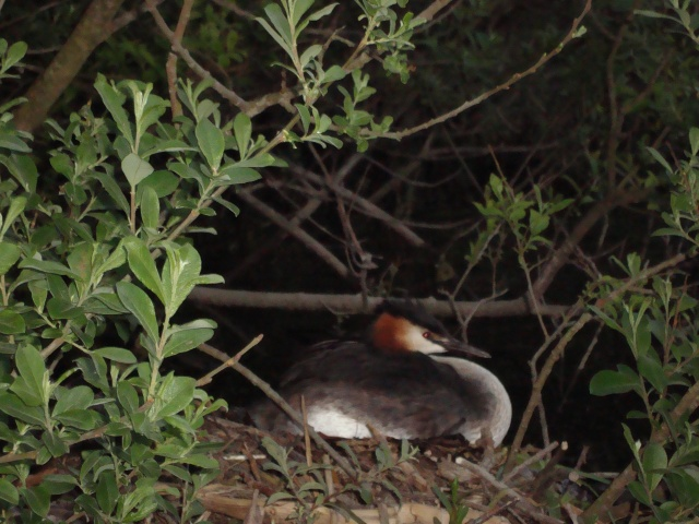 Great Crested Grebe on Nest, Ranworth Broad, Norfolk Broads, UK (c) copyright Sherri Matthews 2013