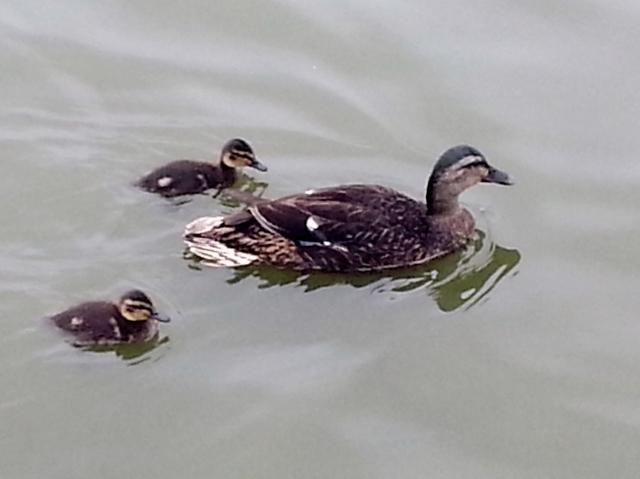 Mallard Duck & Babies (c) copyright Sherri Matthews 2013