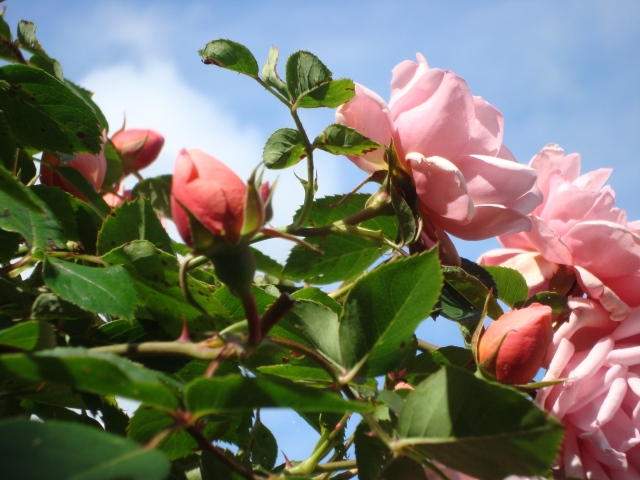 Summer Rose (c) copyright Sherri Matthews 2013