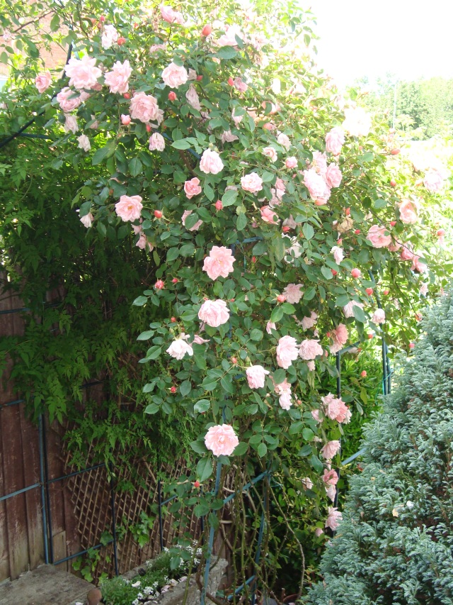 My Trailing Rose  (c) Copyright Sherri Matthews 2013