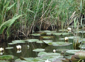 Lily Pads of the Norfolk Broads (c) copyright Sherri Matthews 2013