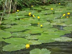 Lily Pads of the Norfolk Broads (c) copyright Sherri Matthews 2013