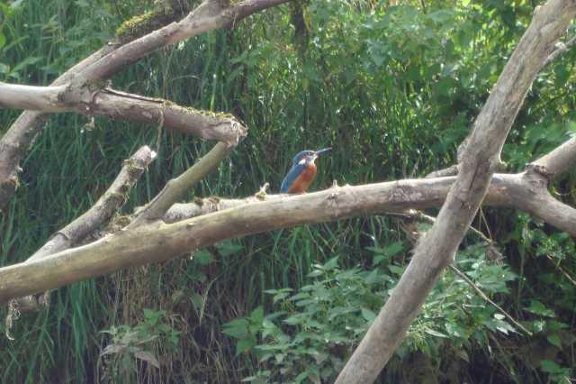 Birthday Kingfisher (c) copyright Sherri Matthews 2013