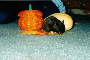 Blackie the Hamster (c) copyright Sherri Matthews 2013