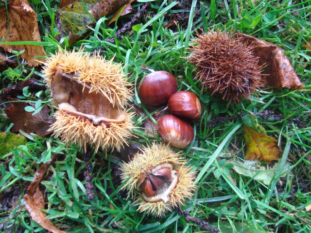 Conkers, anyone? (c) copyright Sherri Matthews 2013