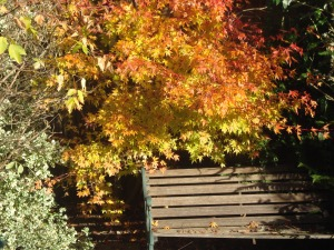 Acer Tree in Back Garden (c) Sherri Matthews 2013