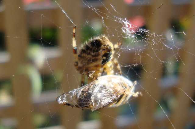 Spider wrapping up a wasp (and no, this isn't the one that bit me!) (c) Sherri Matthews 2012