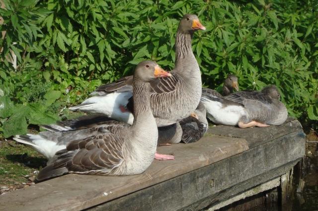Canadian Geese, Norfolk Broads  (c) Sherri Matthews 2014