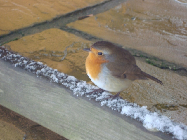 My Sweet Robin Taken February, 2013, hence the snow.  I was unable to get a photo of him this time around as he didn't stay too long (c) copyright Sherri Matthews 2014