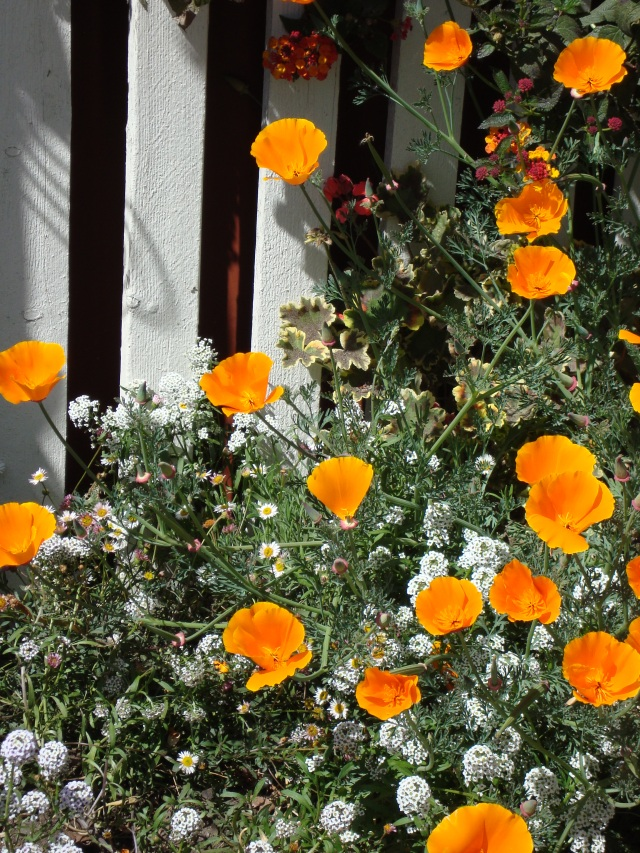 Californian Poppies in the Spring - Cambria, CA (c) Sherri Matthews 2014