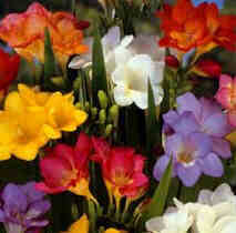 Beautiful Freesias
