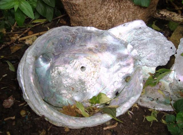 Abalone Shell (c) Sherri Matthews 2014