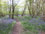 Duncliffe Bluebell Woods May 2014 (1)