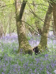 Duncliffe Bluebell Woods May 2014 (14)