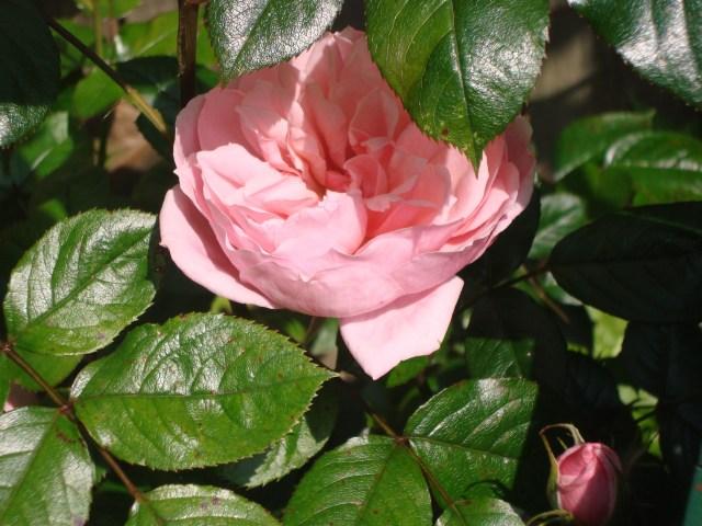 Spring Rose (c) Sherri Matthews 2014