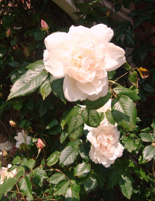 Rambling Rose (c) Sherri Matthews 2014