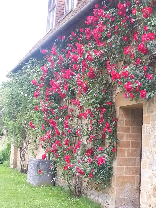 Gorgeous roses in ful bloom growing up the old stable (c) Sherri Matthews 2014