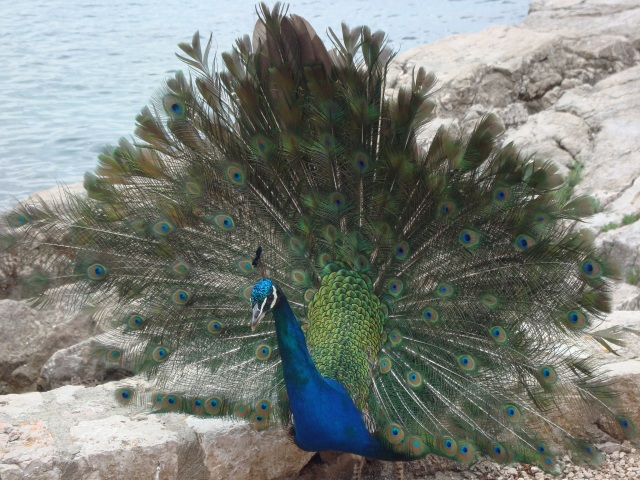 This cheeky peacock poses between me and the Adriatic Sea just beyond his magnificence. Lokrum Island, Croatia (c) Sherri Matthews 2014