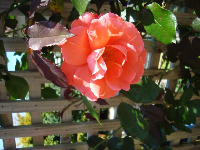 Rose in my garden (c) Sherri Matthews 2014