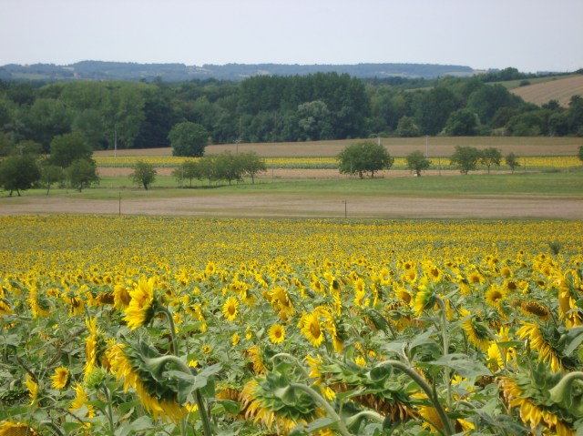 Sunflower fields - France (c) Sherri Matthews 2014