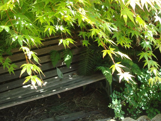 Worn bench beneath the cool canopy of the Acer Tree (c) Sherri Matthews 2014