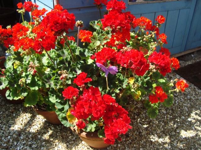 Geraniums in Somerset (c) Sherri Matthews 2014