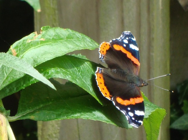 Butterfly in Somerset (c) Sherri Matthews 2014