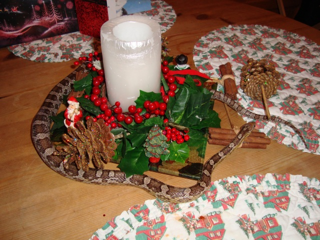 Charlie enjoyed getting into the 'spirit' of things at Christmas time... (c) Sherri Matthews 2013