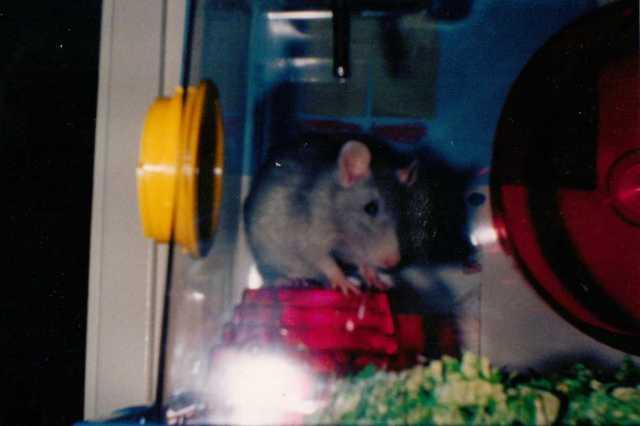 Sweet Blue, eldest son's pet rat.   (c) copyright Sherri Matthews 2014