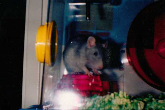 Sweet Blue, eldest son's pet rat.   (c) copyright Sherri Matthews 2014