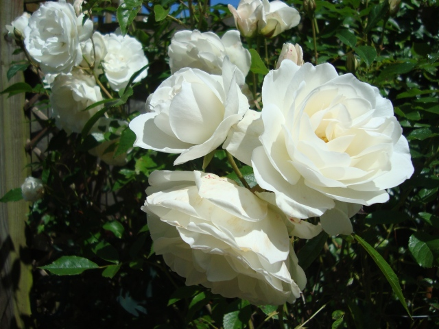 Iceburg Rose (c) Sherri Matthews 2014