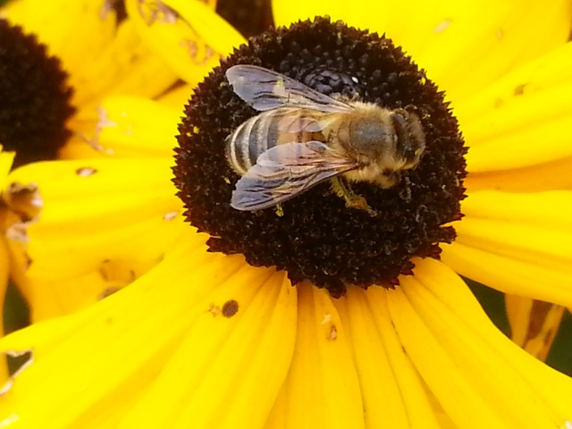 This busy bee keeps working no matter what... (c) Sherri Matthews 2014