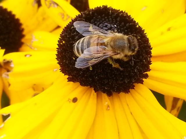 This busy bee keeps working no matter what... (c) Sherri Matthews 2014