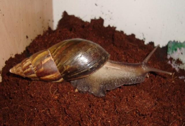 Vladimir, the African Land Snail (c) Sherri Matthews 2014